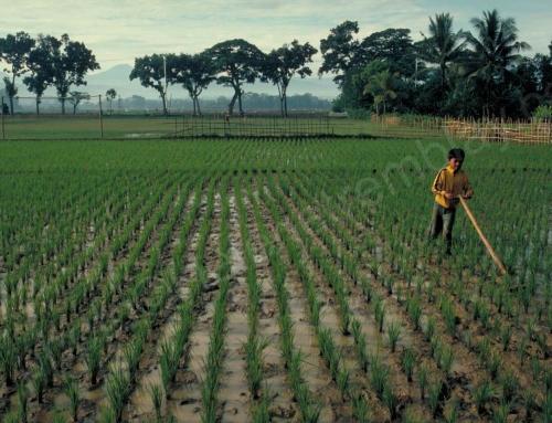 Risque de destruction  – Indonésie